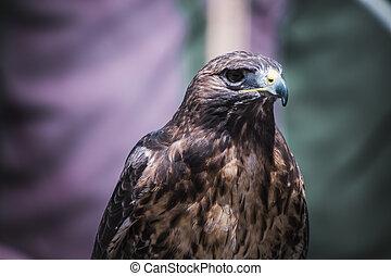 predator, exhibition of birds of prey in a medieval fair,...