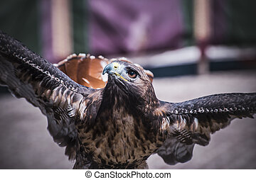 rapax, exhibition of birds of prey in a medieval fair,...