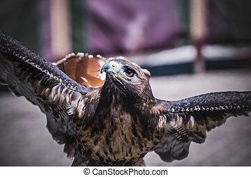 rapax, exhibition of birds of prey in a medieval fair,...