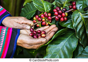 Handful of fresh organic coffee beans. Coffee beans ripening...