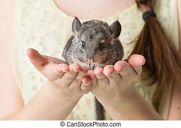 Chinchilla sitting on hands - Cute adult chinchilla sitting...