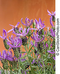 Lavandula stoechas, French lavender against orange wall. -...