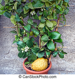 Citron, unusual citrus plant with fruit. Citrus medica. - In...