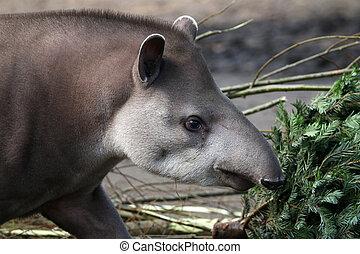 tapir,