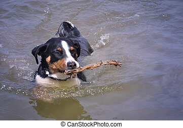 Appenzell cattle dog swimming with a stick in her mouth