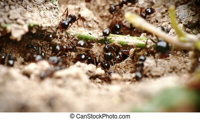 black ants in the nest