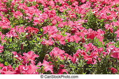 Pink flowers - Flowerbed with pink flowers, diminishing...