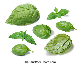 Basil leaves collection, different cultivars - Collection of...