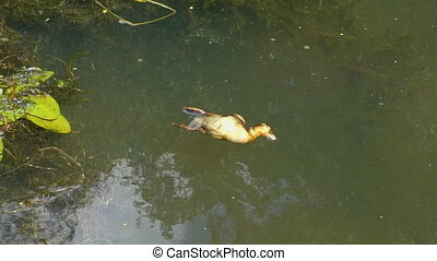 Dead duckling floating in a slow river, pond, lake or canal...
