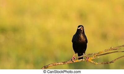 Spotless starling perched on a branch with food in its beak...