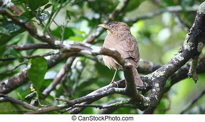 Clay-coloured Thrush from Panama - A Clay-coloured Thrush...