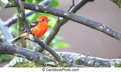 Vivid Flame-coloured Tanager - A vivid Flame-coloured...