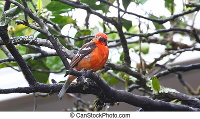 Bright Flame-coloured Tanager - A bright Flame-coloured...