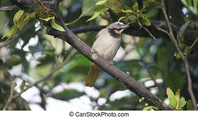 An alert Buff-throated Saltator from Panama - Alert...
