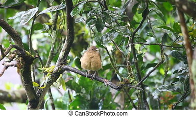 Clay-coloured Thrush from the tropics - A Clay-coloured...