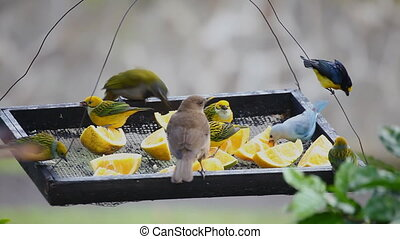 Tropical birds at a feeder in Panama - Many Tropical birds...