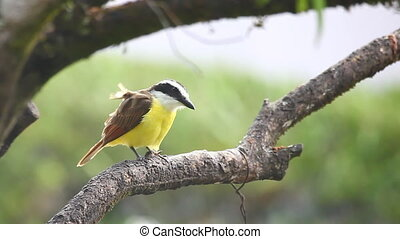 Great Kiskadee in the rain in Panama - A Great Kiskadee in...