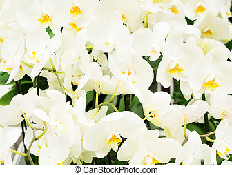 Bunch of white orchids - Bunch of fresh white orchid flowers...