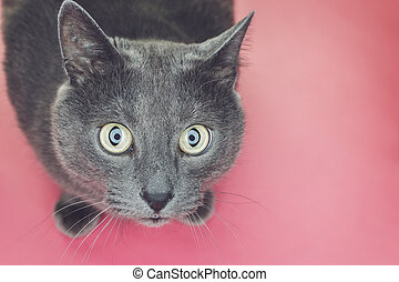 grey cat sitting on pink background - grey sitting on the...