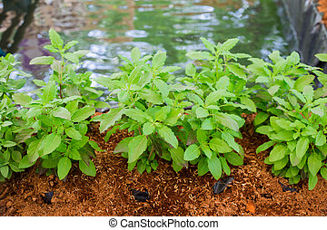 Part of Holy basil pile