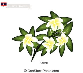 National Flower of Lao, Champa or Plumeria Frangipanis - Lao...