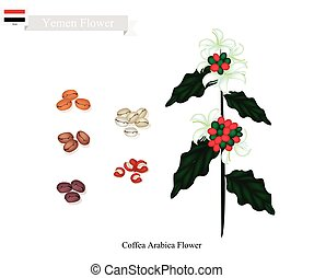 Coffea Arabica Flowers, The National Flower of Yemen - Yemen...