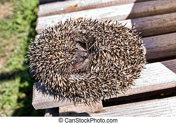 Hedgehog curled up - Hedgehog common, curled on a sunny...