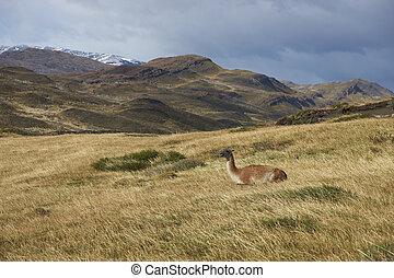 Guanaco in Torres del Paine - Guanaco Lama guanicoe lying...