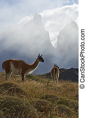 Guanaco in Torres del Paine - Guanaco Lama guanicoe on a...