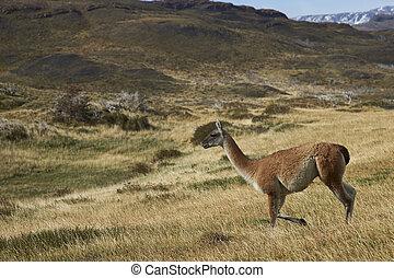 Guanaco in Patagonia - Guanaco (Lama guanicoe) walking...