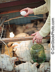 Farmer woman holding chicken egg in henhouse - Hand of a...