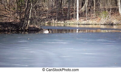 ducks and drake on the lake with ice floes ,