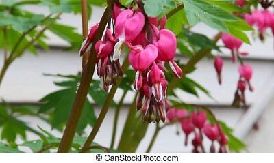 Bleeding hearts plant - Pink flowers of Bleeding hearts