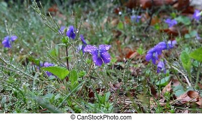 Viola - Blue Violas in the wild.