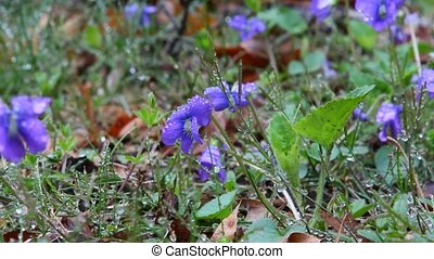 Viola - Blue Violas in the wild