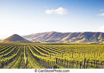 Vineyard at Sunset - Setting sun illuminates Chardonnay...