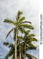 Bactris gasipaes Pupunha trees - Bactris gasipaes Pupunha...