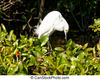 Snowy Egret Bending Over Looking Down - Snowy Egret in...