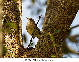 Proud Palm Warbler - Tiny migratory Palm Warbler in Florida...