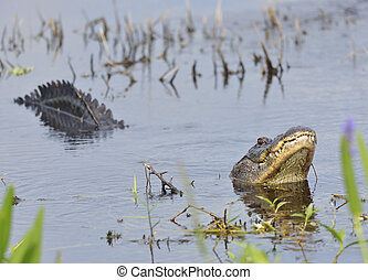 Alligator Growling for a Mate - Large Bull Male Alligator...