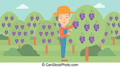 Farmer collecting grapes. - A woman harvesting grapes in...