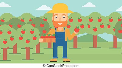 Farmer collecting apples. - A hipster man with the beard...