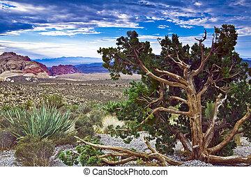 Red Rock Canyon Juniper