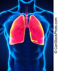 respiratorio, Sistema, humano