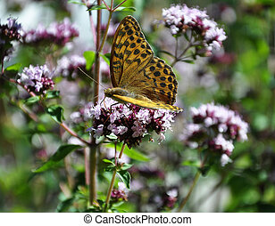 Oregano with butterfly