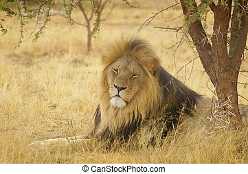 African Lion sleeping - African male lion sleeping under...
