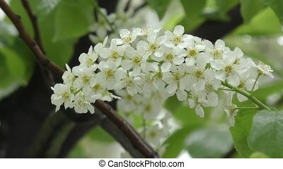 White flowers bird cherry tree and spring rain