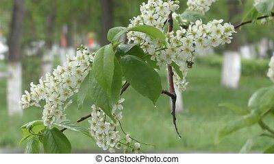 White flowers bird cherry tree and spring rain