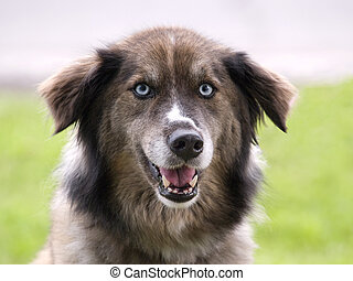 Dog with blue eyes - a dog with blue eyes staring at the...