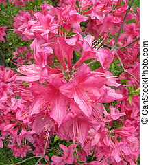 Rhododendron bush - pink magenta blossoms on a rhododendron...
